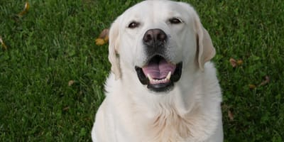 Can dogs lie to their owners? Study shows dogs deceive to achieve!
