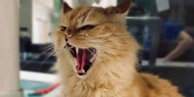 gatto-arancione-soffia-arrabbiato