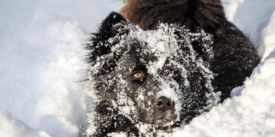 Perro mantiene caliente a su dueño muerto en la nieve y no deja que nadie se le acerque (Vídeo)