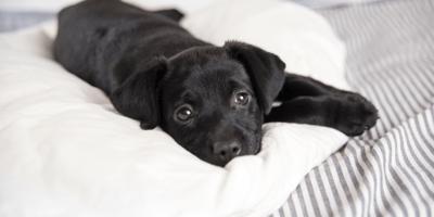 cachorro negro enfermo