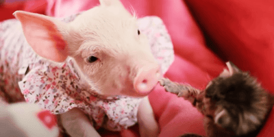 Sanctuary introduces piglet to kitten and their reaction leaves everyone stunned