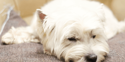 Owners abandon their Westie for the most selfish reason