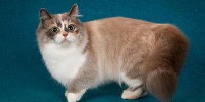 Gatto Munchkin: tutto sulla razza felina dalle zampe corte