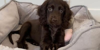 WATCH: Something about this Cocker Spaniel is making women green with envy