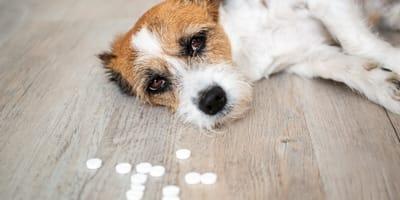 Mi perro comió veneno: estos son los pasos que debes seguir