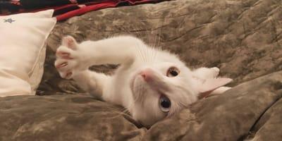 Abandonado en Asturias, este gato de bufido fácil necesita alguien con un requisito único