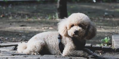 Su perrito ciego sale a la calle: de repente desaparece en las profundidades