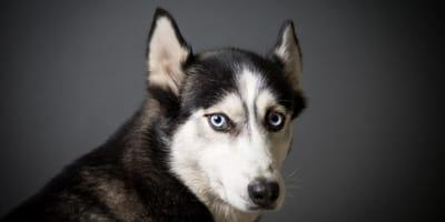 Husky conquista a más de 2 millones de personas con su peculiar forma de comunicarse