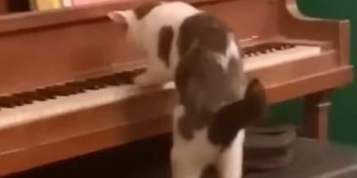 Kot przy pianinie