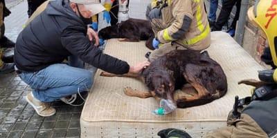 bomberos atienden a dos perros tumbados en un colchon