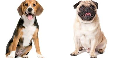 Puggle cruce pug y beagle