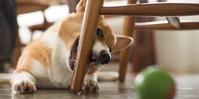 perro muerde muebles