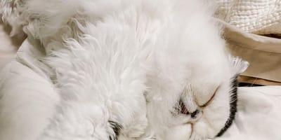 Zuu, il gatto con l'espressione più buffa del mondo (Foto)