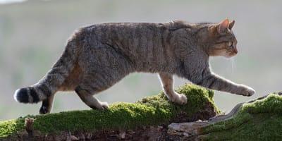 Dzikie koty w Polsce – poznaj je bliżej