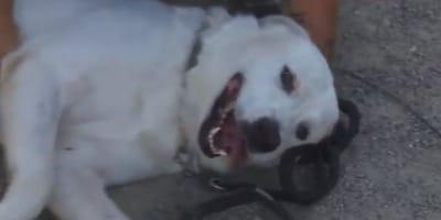 cane-bianco-disteso