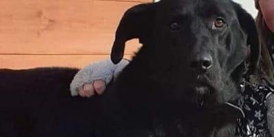 Czarny pies Drakul