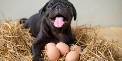 ¿A los perros les sienta bien el huevo?