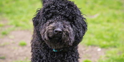 Owner loses Labradoodle – and can't believe where he turns up