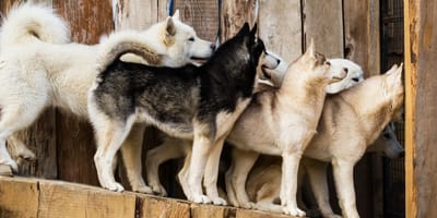 Salvati centinaia di Husky Siberiani venduti online (Video)