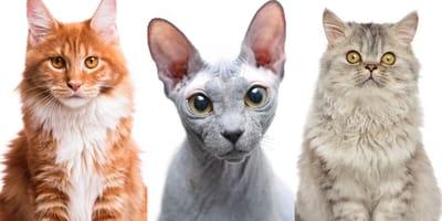 Las razas de gatos más populares de España