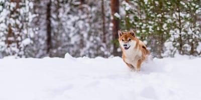 Shiba-inu  na śniegu
