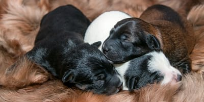 Los beneficios del calostro en los perros cachorros