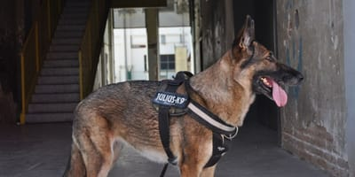 Psy na służbie dostaną w Polsce dożywotnią opiekę? Trzymajmy kciuki za ustawę!