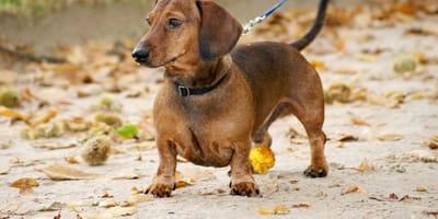 Cuánto vive un perro salchicha o dachshund: todo sobre su esperanza de vida