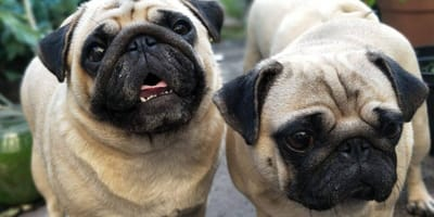The Pug: 5 things you should know about this breed before adopting