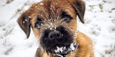 7 Border Terrier puppies who will ease your winter blues