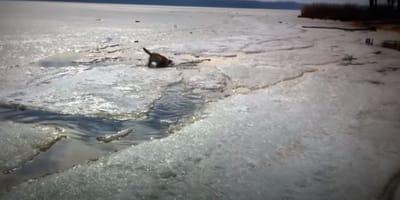 Pies labrador w zimnej wodzie