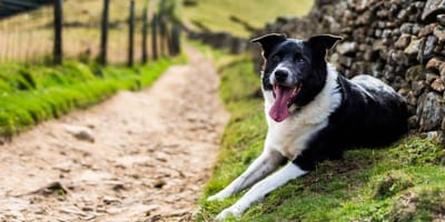 Der Borador: Ein sportlicher Familienhund