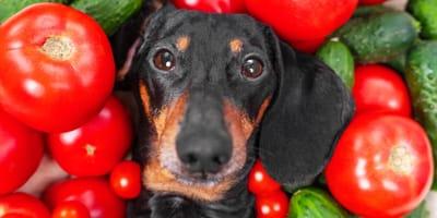 ¿El tomate es bueno para mi perro?