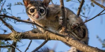 El animal mitad gato que enamora a México: ¿ya conoces al cacomixtle?