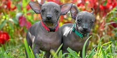 Hermosos nombres para xoloitzcuintle, ¡originales y llenos de significado!