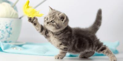 Razas de gatos pequeños: características y curiosidades
