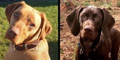 Vizslador: l'incrocio tra Labrador e Bracco ungherese