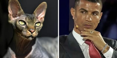 Smutne wiadomości o Pepe: kocie rasy sfinks kanadyjski Cristiano Ronaldo