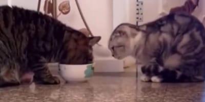Dwa kotki jedzą z jednej miski