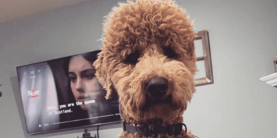 WATCH: Poodle's reaction to her new haircut is absolutely hilarious
