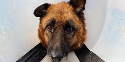Sein bestes Stück: Schäferhund bekommt nach Bruch viele Genesungswünsche