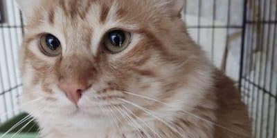 No lo quieren por grandote, pero este bello gatote no pierde la esperanza de encontrar un hogar