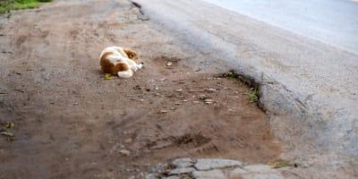 perro de color blanco y marron tirado en una carretera