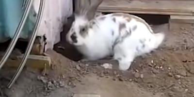 Conejo libera a un gato atrapado y se hace famoso en todo el mundo (Vídeo)