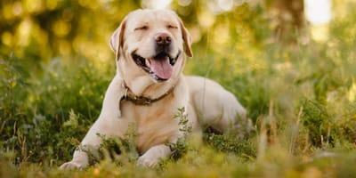 Cuánto vive un perro labrador: descubre su esperanza de vida