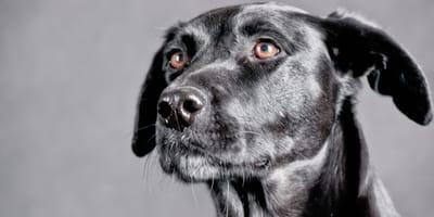 Ein Labrador-Mischling
