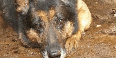 Tras una vida miserable, este pastor alemán rompe con los clichés sobre animales maltratados