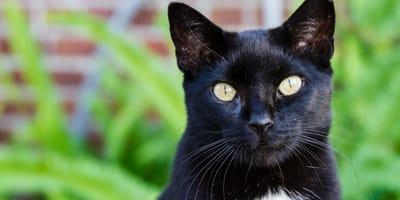 Gato negro con manchas blancas