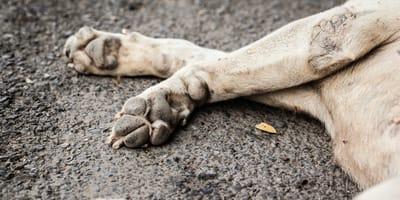 Delincuentes envenenan a 15 perros para que no ladren