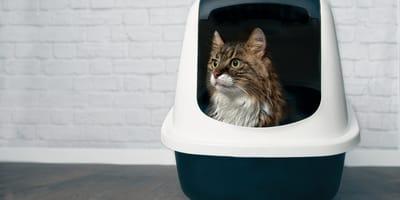 Co może oznaczać krew w kale kota?